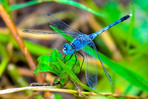 Dragonfly, Insect, Black, Blue, Eyes