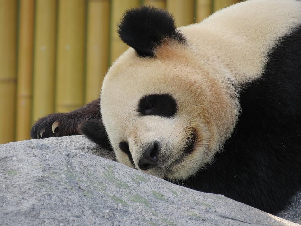팬더 자이언트 판다 곰 183 Pixabay의 무료 사진