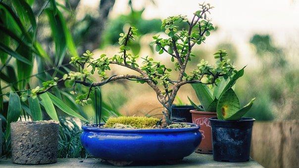 Plant, Bonsai, Tree, Green, Nature