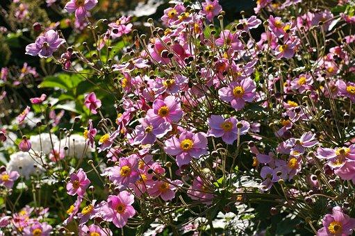 Herbstannemone, Annemone, Pflanze