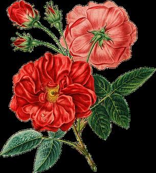 Red Rose Vintage Botanical Flower Flo