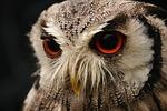bird, owl, screech owl