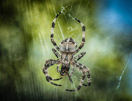 Spider, Araneus, Insect, Web, Close Up