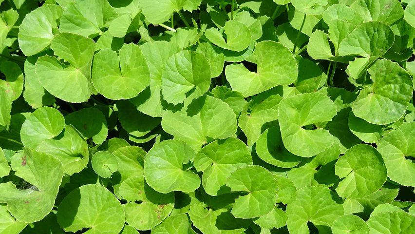 Plant, Herb, Medicinal, Indian Pennywort, Bacopa Monera to Increase Memory Power