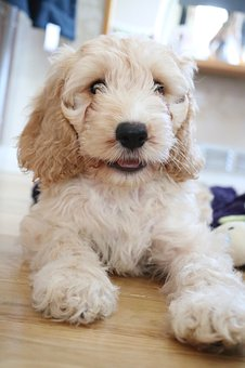 Cockapoo, Puppy, Dog, Coker Spaniel