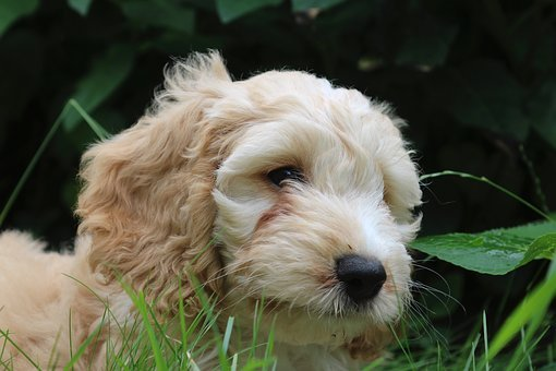 Cockapoo Puppies For Sale in Mississippi