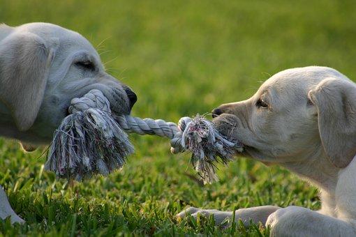 Puppy, Tug-O-War, Lab, Puppy, Tug-O-War