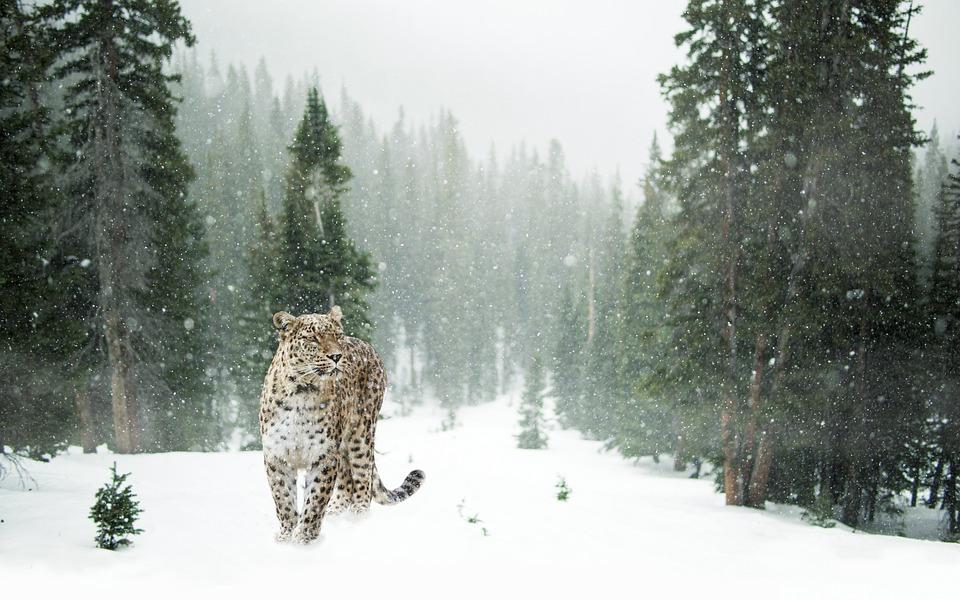 Leopard, Snow Leopard, Schnee, Winter, Wald, Porträt