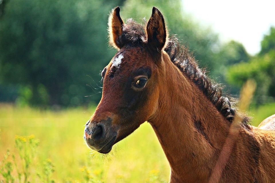 Free Photo Horse Foal Thoroughbred Arabian Free Image