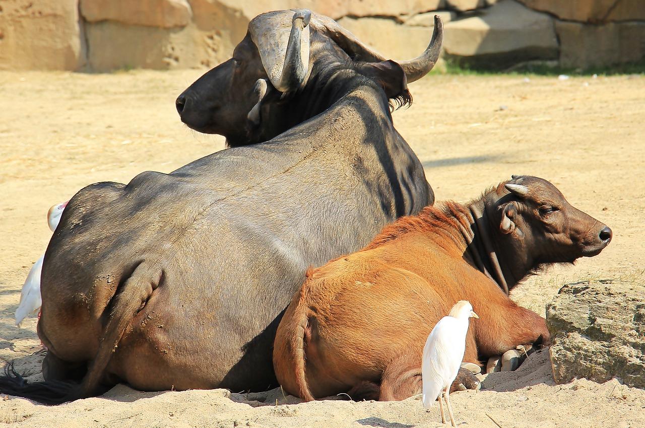 african-buffalo-1651281_1280.jpg