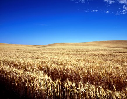 Cornfield, Wheat Field, Cereals, Grain