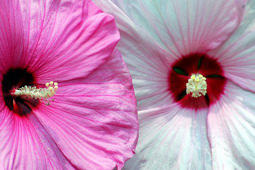 hibiscus, flower  free images on pixabay, Beautiful flower