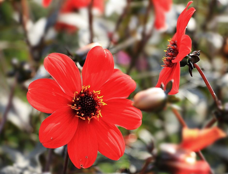 photo gratuite: dahlia, fleur, rouge, dahlia rouge - image