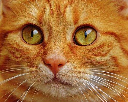 Cat, Red, Cute, Mackerel, Tiger, Sweet
