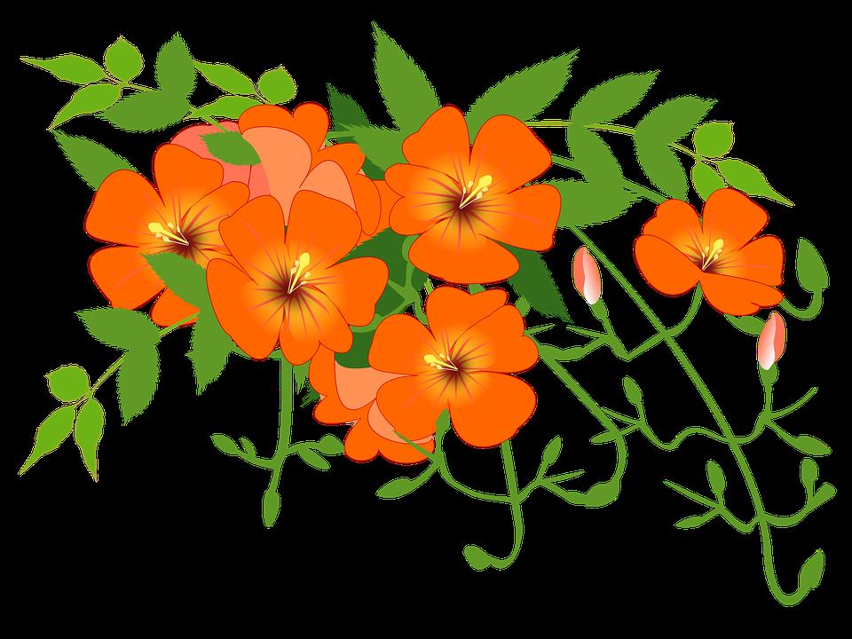 Free illustration: Chinese Trumpet Vine, Flower Vine - Free Image on ...