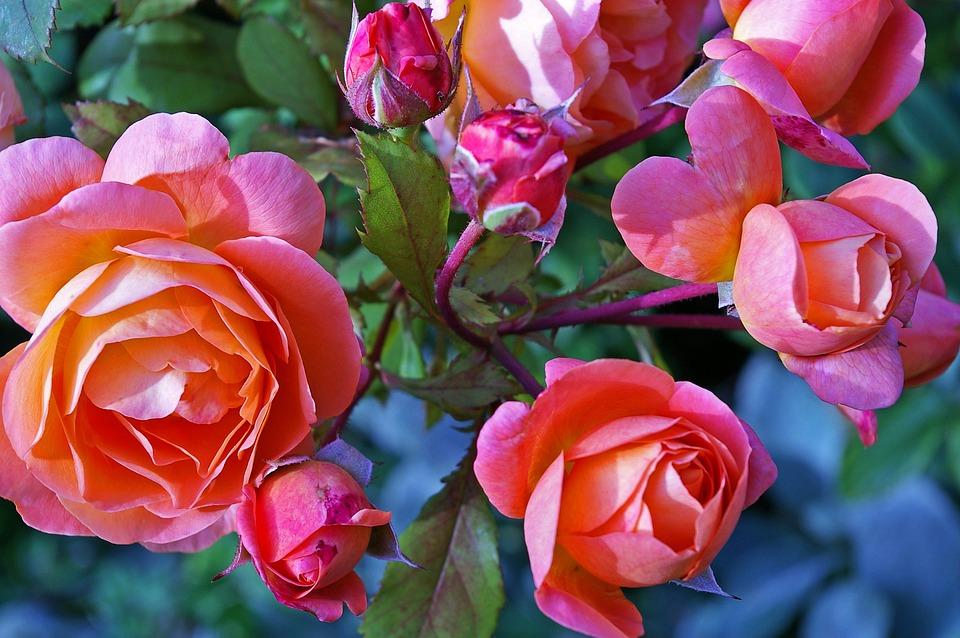 Garden Rose shrub, rose - free pictures on pixabay