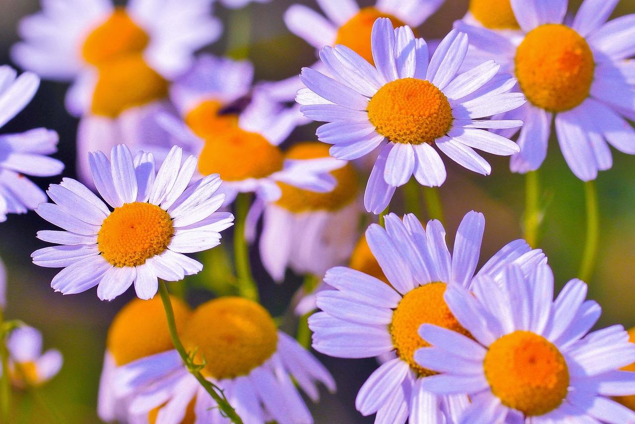 Днем, открытка цветы ромашка