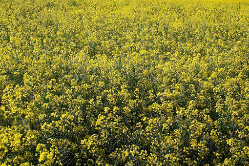 Oilseed Rape, Field, Field Of Rapeseeds
