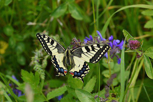 Dovetail, Papilio Machaon, Butterfly