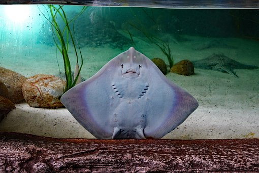 Sting Ray Flat Fish Sting Ray Fish Flat Se