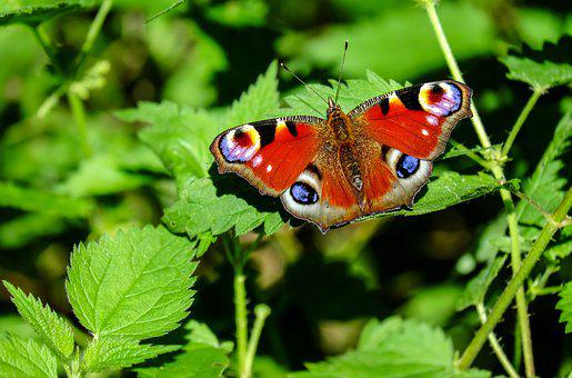 Peacock Butterfly, Butterfly, Leaves