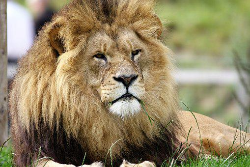 Lion, Big Cat, Big, Cat, Wildlife, Wild