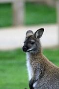 Aussie Marsupial  Letters