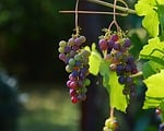 grapes, vine