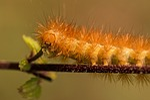 caterpillar, hairy, hair