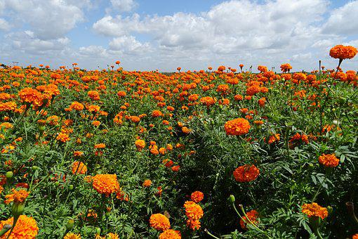 Flower Marigold Orange Yellow Genda Jhendu