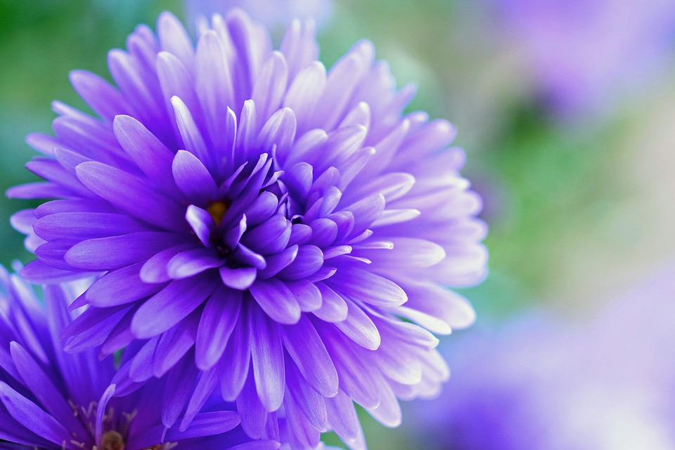 free photo herbstaster, purple, flower  free image on pixabay, Beautiful flower