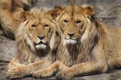 Löwen, Zoo, Tier, Safari, Afrika