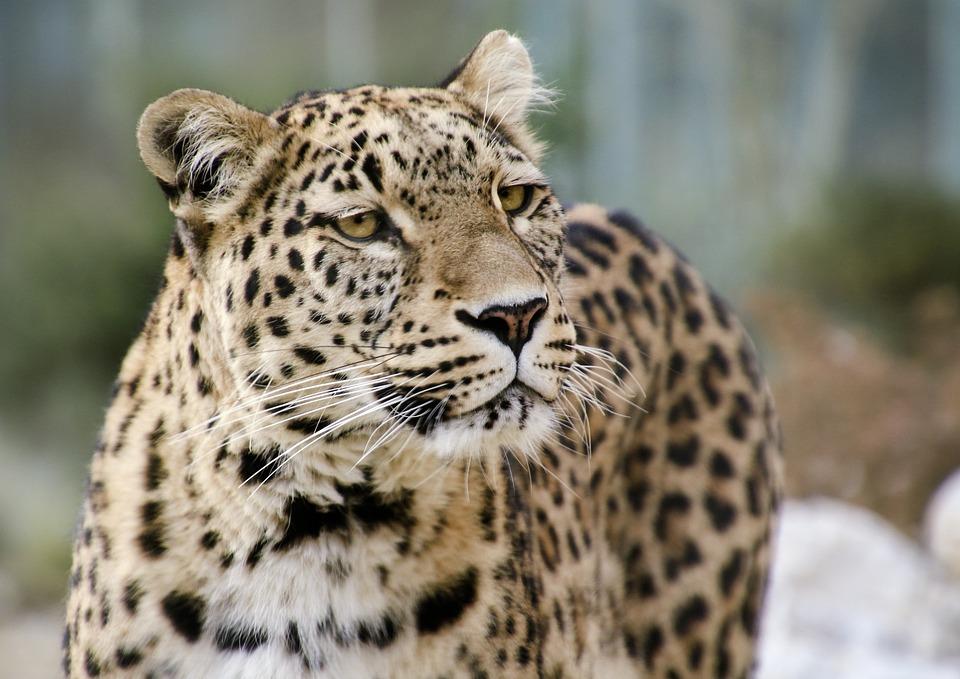 Photo gratuite l opard l opard persan portrait image - Chat type leopard ...