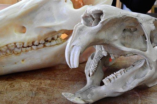 Cráneo Animal Imágenes · Pixabay · Descarga imágenes gratis