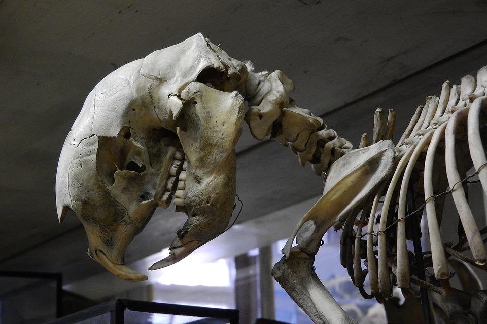Schädel Skelett Zähne · Kostenloses Foto auf Pixabay
