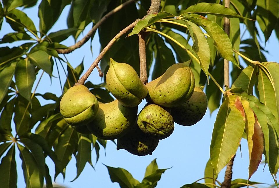 フルーツ 種子のさや アオギリ科...