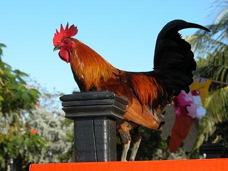 Rooster, Bird, Standing, Fowl