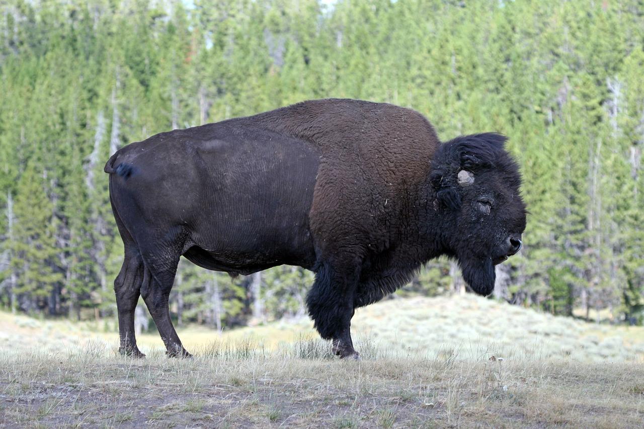 Картинки бизона в америке позволил возраст