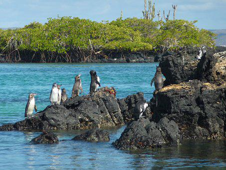 Galápagos Penguin, Spheniscus Mendiculus
