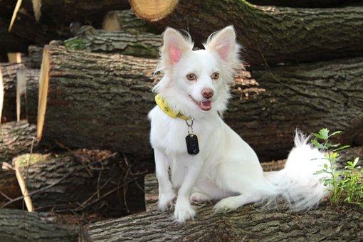 Papillon, Chihuahua, Dog