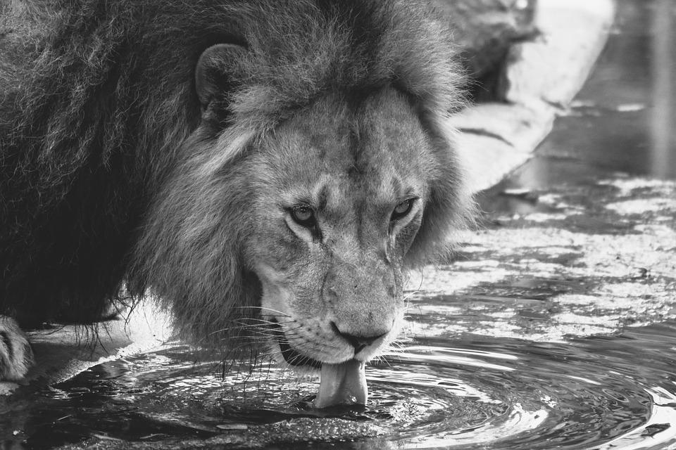 Lion, Drink, Zoo, Cat