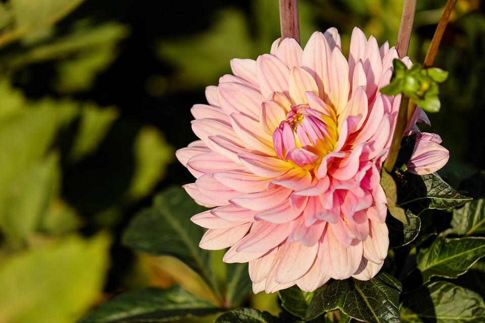 Free photo dahlia dahlias flower blossom free image for Flowers that look like dahlias