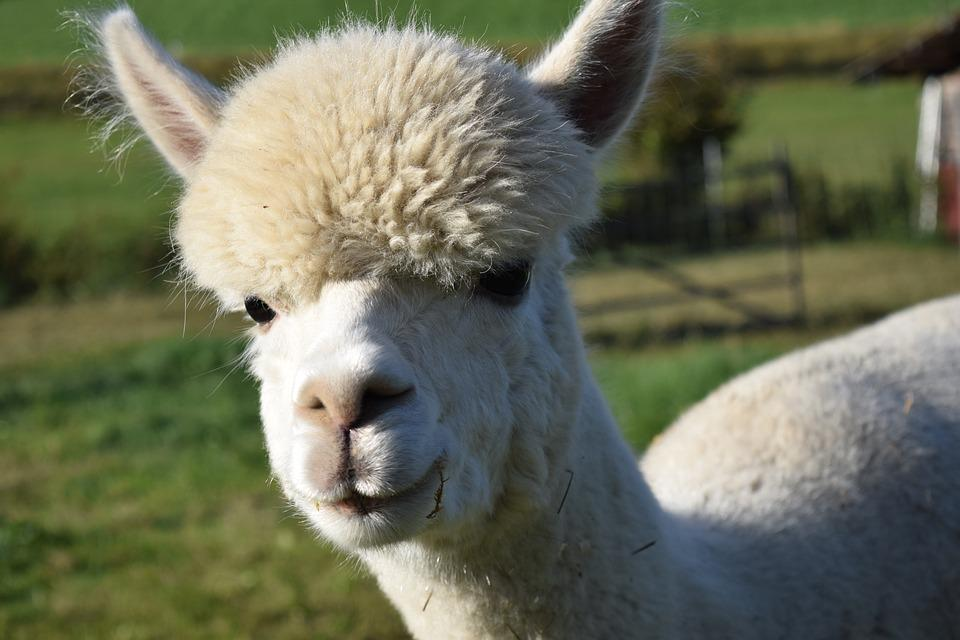 cute animal alpaca Dubbed the green sheep and the miracle fiber, alpaca gets a lot of love from knitters and crocheters alpacas are really cute, fluffy animals whose fleece is prized.