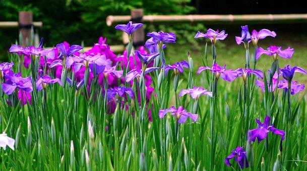 アイリス、花、紫、赤紫