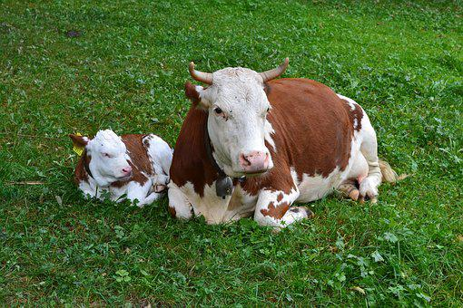 Cow, Calf, Agriculture, Cute