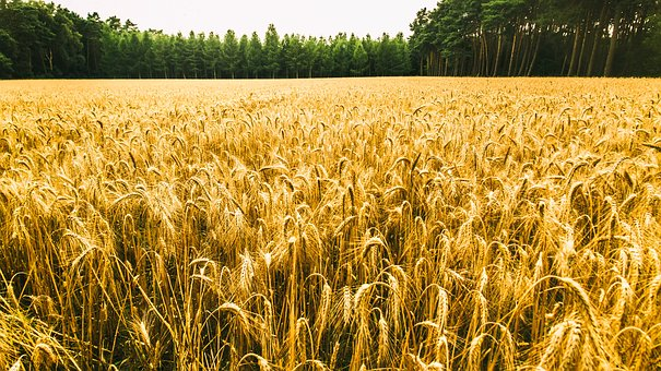 Cornfield, Forest, Nature, Agriculture