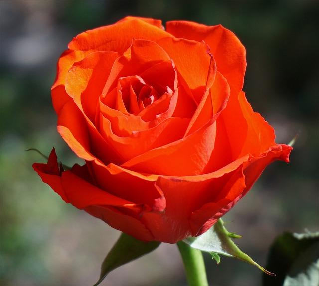 fotografie zdarma oranžov233 růže rose květina květ