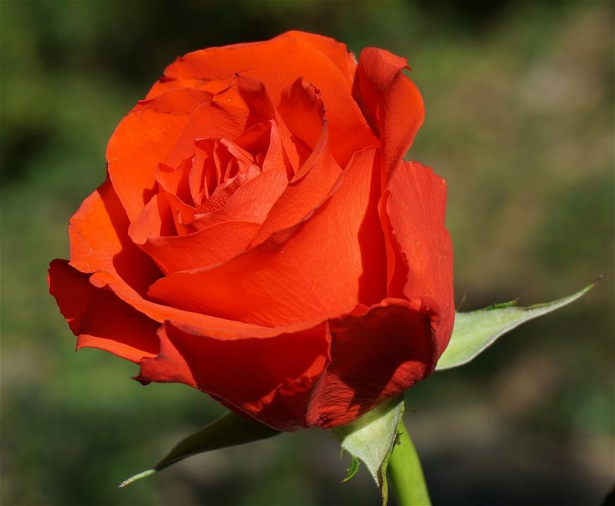orange rose flower 183 free photo on pixabay
