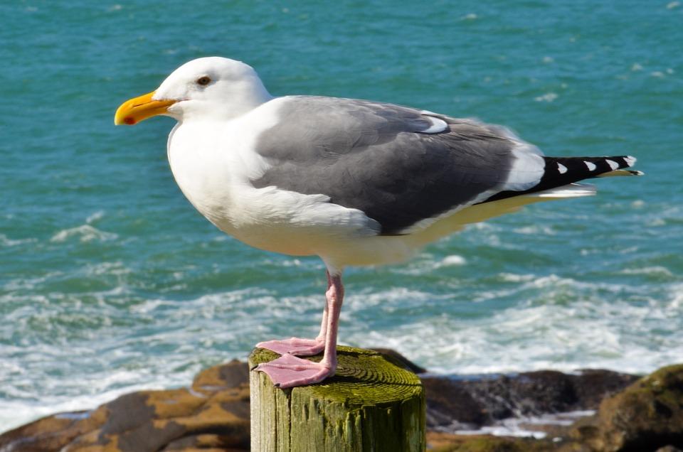 sea gull bird free photo on pixabay