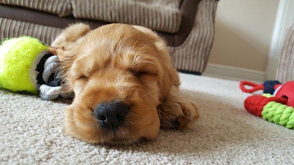 Hond, Gouden, Slaap, Cute, Puppy